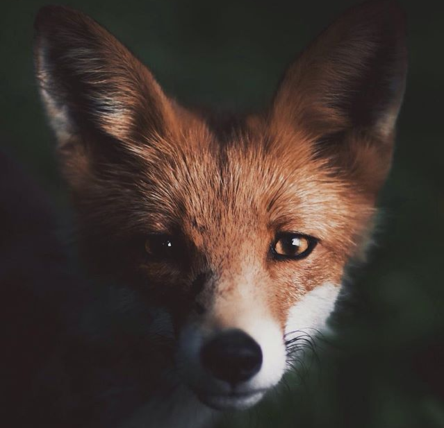 Resilient Fox {poem}.
