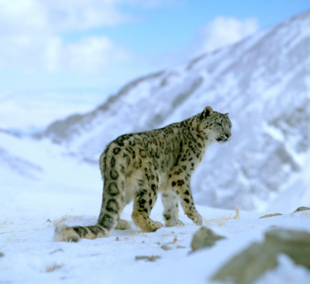 female snow leopard WNF